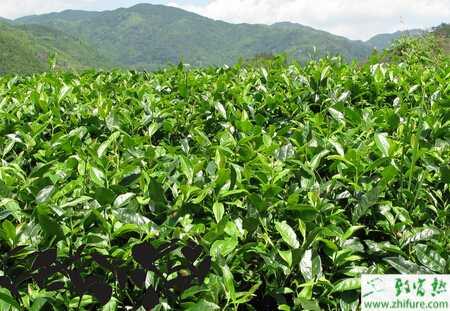 茶树病虫害防治技术图片