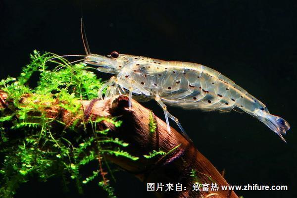 观赏虾有哪些品种和类别?